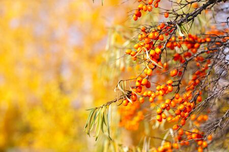Branch with sea buckthorn berries and yellowing leaves on a background of yellow trees