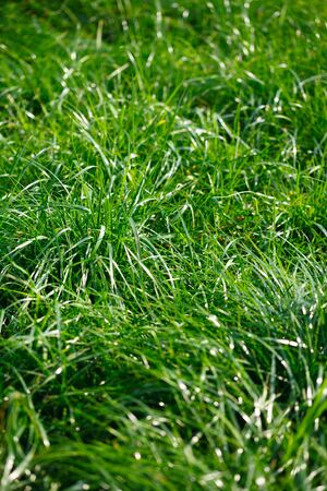 close-up photo of green high lawn for background 写真素材