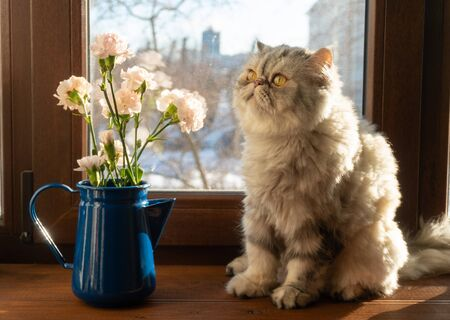 a bouquet of pink Bush carnations in a blue jug on the windowsill. A grey cat is sitting next to the jug Reklamní fotografie