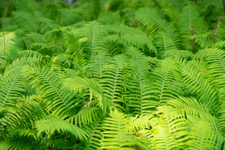Dense thickets of fern in the forest. Reklamní fotografie