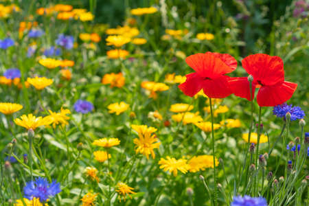 yellow, blue and red wildflowers. Horizontal