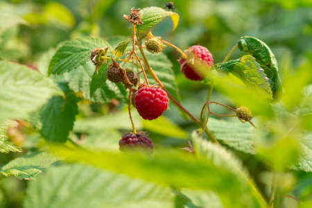Ripe raspberry on a bush in the garden on a sunny day