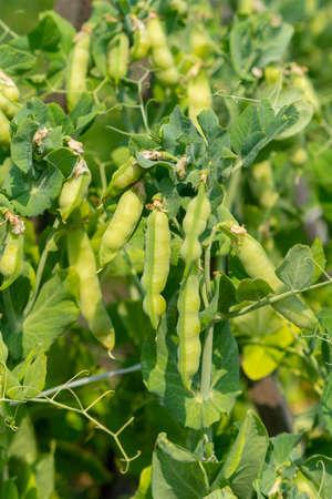 Peas growing on the farm. Pea pods are ripe Reklamní fotografie - 153311194