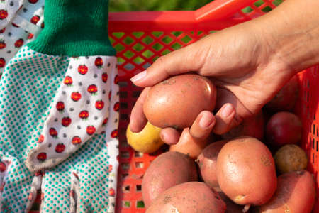 a girl holds a potato in her hand against the background of a box of potatoes