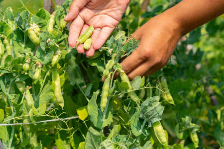 the girl collects a fresh crop of peas. Pure organic peas.