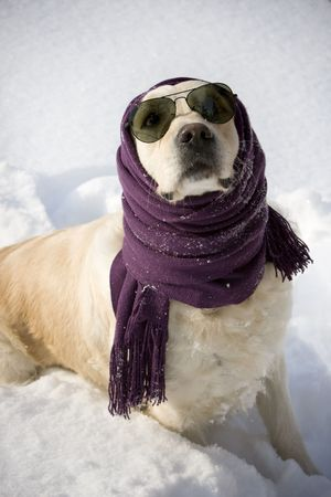 stole: Funny dog with shawl and sunglasses
