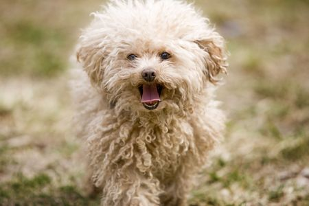 miniature poodle: Miniature poodle toy