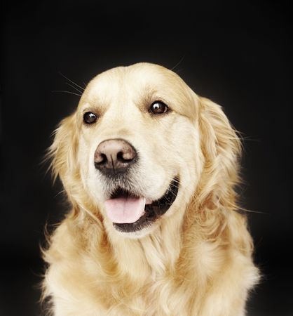 stay beautiful: Golden Retriever isolated on black