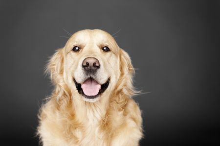 Golden Retriever isolated on grey