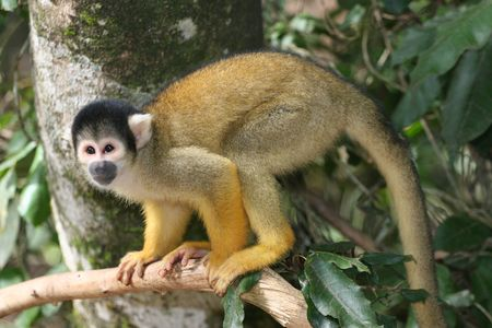 MONKEY, SQUIRREL MONKEY, BRÉSIL