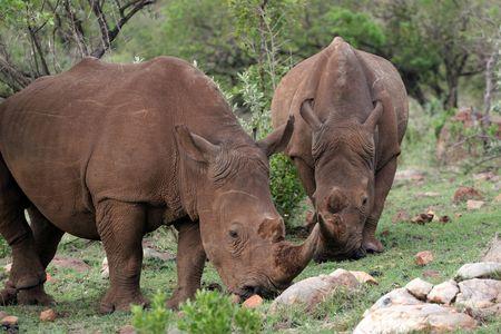 A COUPLE OF RHINO EATING IN KENYA