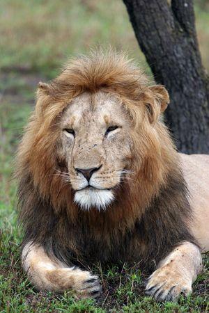 mara: LION - MASAI MARA RESERVE