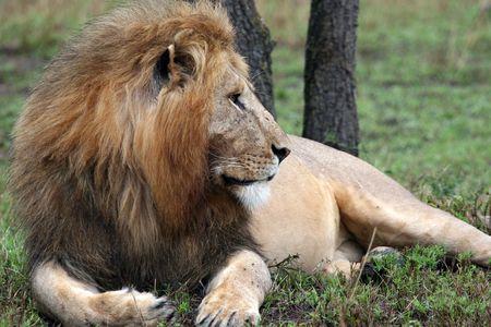 LION - massaï mara réserve