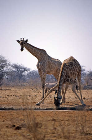 giraffe drinking at etosha park photo