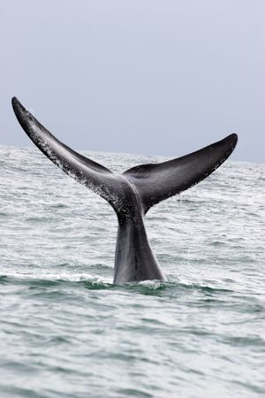 whale in hermanus in south africa
