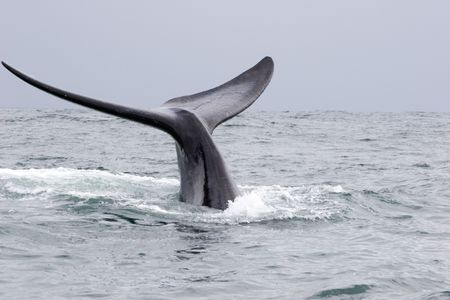 whale in hermanus south africa