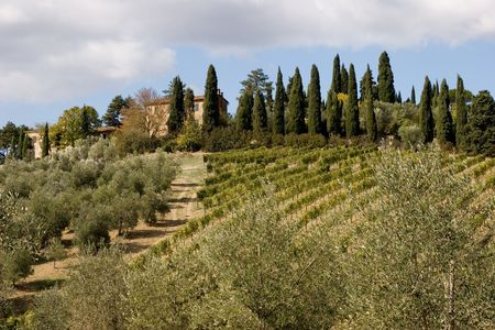 olive trees: tuscany real estate