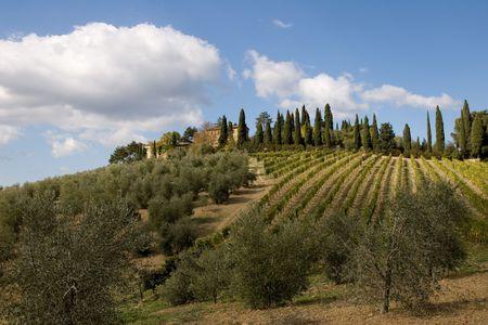 vineyard plain: tuscany landscape