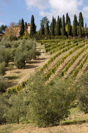 vineyard plain: tuscany countryside