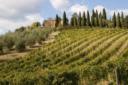 vineyard plain: tuscany countryside