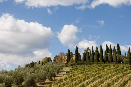 vineyard plain: tuscany landscape