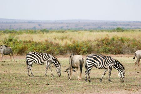 amboseli: zebras in amboseli park, kenya
