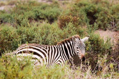 amboseli: zebra in amboseli park, kenya