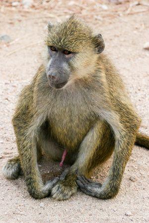 amboseli: monkey, amboseli park