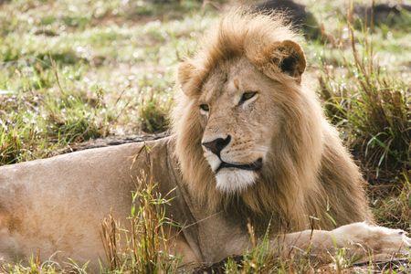 lion in the masai mara reserve