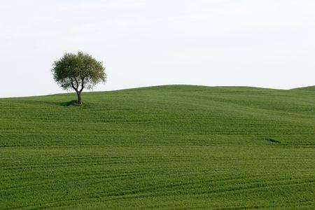 vineyard plain: lonely tree