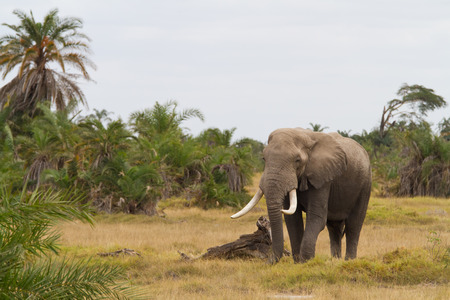 Elephant in the jungle photo
