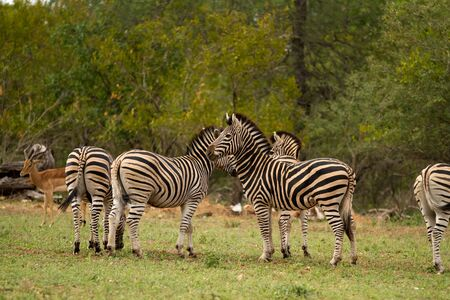 conservation grazing: zebra