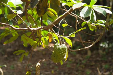 zanzibar: spice tree from zanzibar