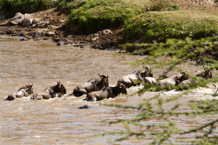 wildebeest: wildebeest crossing the river mara