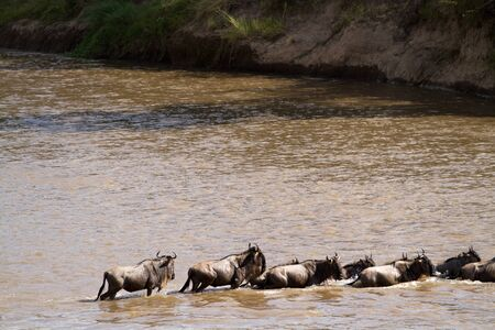 wildebeest: wildebeest crossing a river