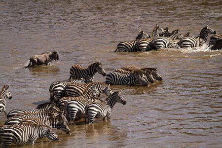 wildebeest: wildebeest and zebras Stock Photo