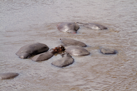 african wildebeest: hippos in the mara river in masa mara reserve