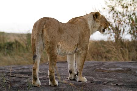 the mara: lion in the mara
