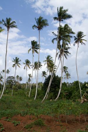zanzibar: trees in the Zanzibar island