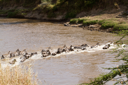 wildebeest: wildebeest and zebras crossing the Mara river in Kenya