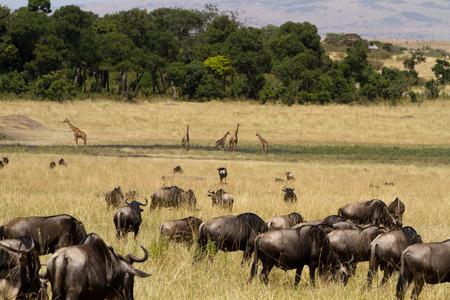 the mara: wildebeest in masai mara