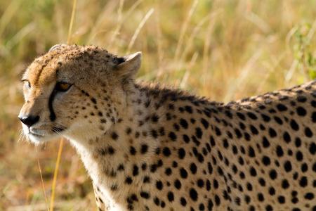 cheetah: cheetah portrait