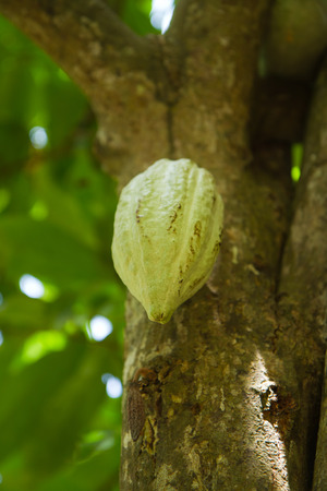 cocoa fruit: spice tour cocoa fruit