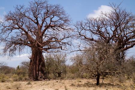 arboles secos: árboles muertos en el desierto