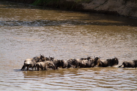 wildebeest: wildebeest crossing a river in Africa