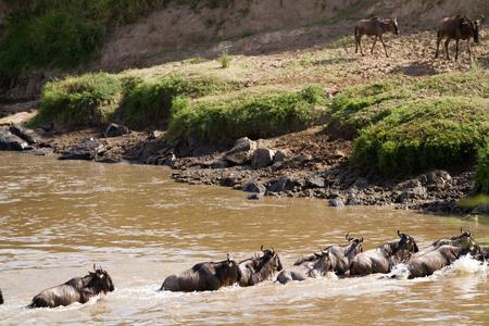 migration: mara river crossing During the migration season