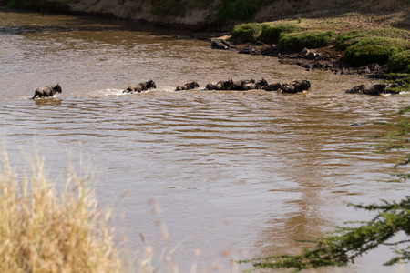 african wildebeest: mara river crossing During the migration season