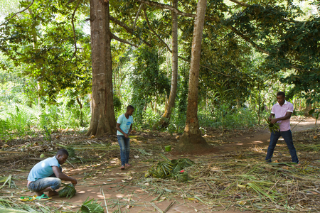 kampala: spice tour people cutting the plants Editorial