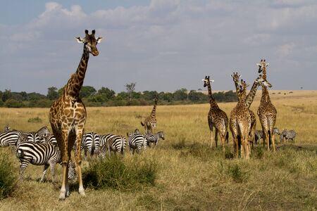 the mara: masai mara zebras and giraffes Stock Photo