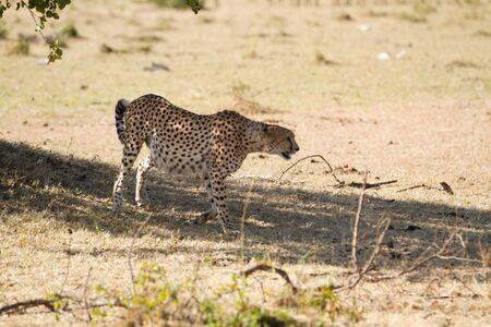 the mara: masai mara cheetah